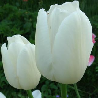 сорта тюльпанов бахромчатые фото и названия